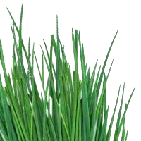 Chives, Raw